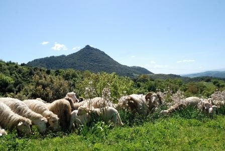 Pecore al pascolo a Monte Gulana, Olzai (foto G. Murgia)