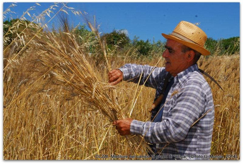 Mietitore nel campo di grano di Eligai (foto G. Murgia)