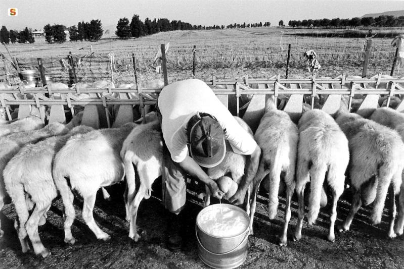 un pastore mentre munge le pecore (foto Antolino Angelo)